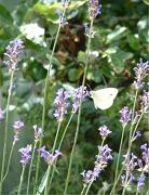 Papillon blanc de cristal  Photo sur Alu