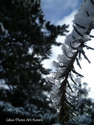 Sapin enneigé hiver 2013 photo de Céline Photos Art Nature