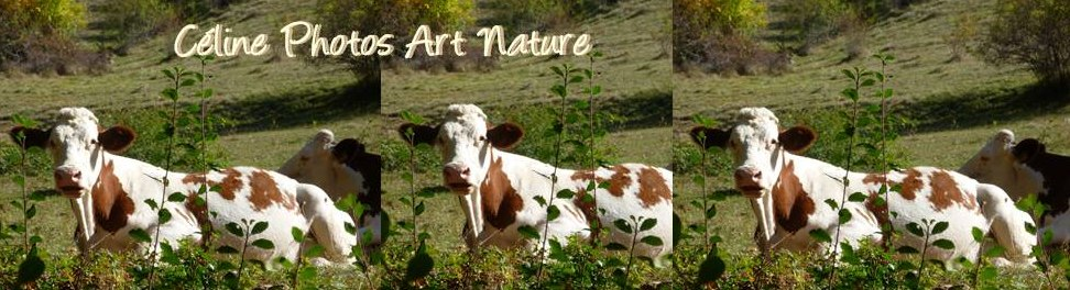 Bannière sur les vaches de Céline Photos Art Nature