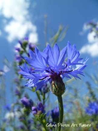 Bleuet printemps 2015 de Céline Photos Art Nature