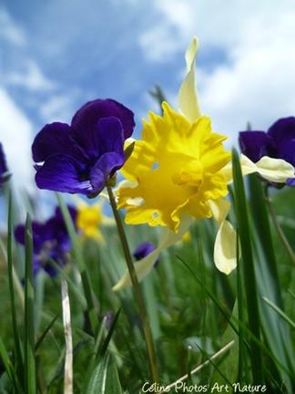 Carte double de nature avec des fleurs de jonquilles et de pensées sauvages