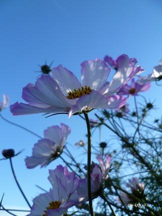 Carte double de nature avec des fleurs de cosmos