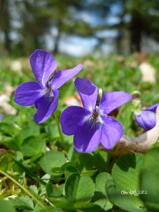 Carte double de nature avec des fleurs de violettes