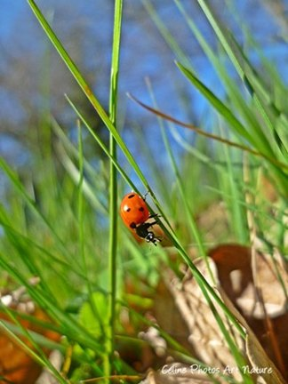 Coccinelle printemps 2015 de Céline Photos Art Nature