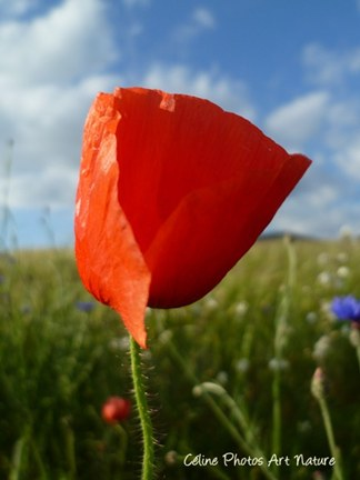 Coquelicot printemps 2015 de Céline Photos Art Nature