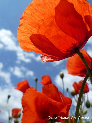 Coquelicots photo de Céline Photos Art Nature