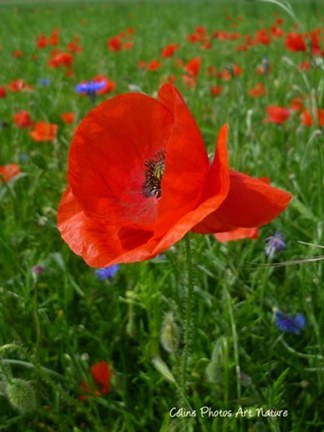 Coquelicots et bleuets printemps 2015 de Céline Photos Art Nature