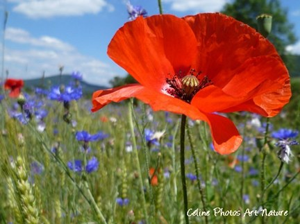 Coquelicots et bleuets photo de Céline Photos Art Nature