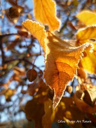 Photo de feuilles orangées d`automne cristallisées par le gel de Céline Photos Art Nature