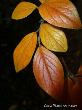 Feuilles d`automne oranges sur fond noir