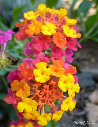 Fleur arc-en-ciel