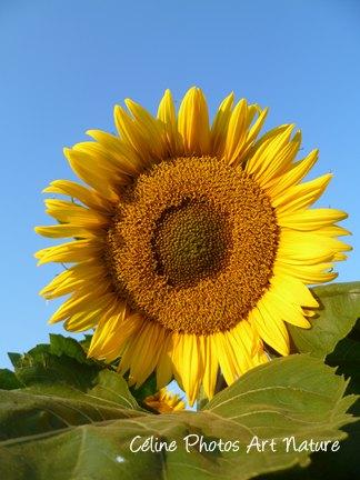 Fleur de Tournesol de Céline Photos Art Nature