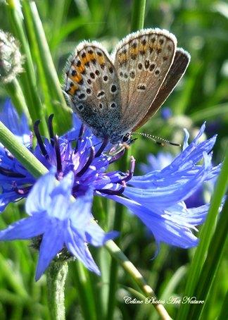 Fleurs de bleuet et papillon de Céline Photos Art Nature