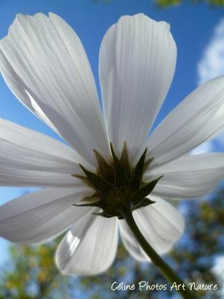 Fleur de cosmos blanche
