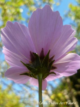 Photo d`une fleur de cosmos rose en automne