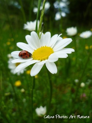 Marguerite et coccinelle de Céline Photos Art Nature