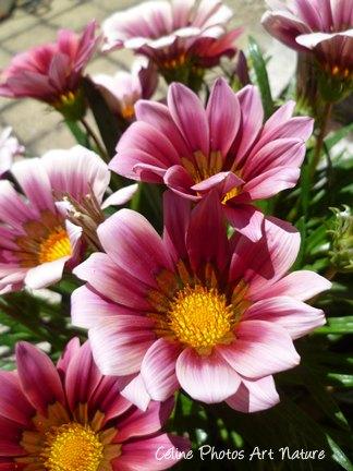 Fleurs de Gazania de Céline Photos Art Nature