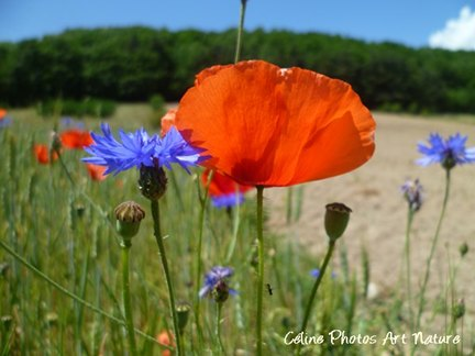Champ de bleuets et de coquelicotsphoto de Céline Photos Art Nature