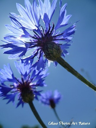 Fleurs de bleuets sauvages de Céline Photos Art Nature