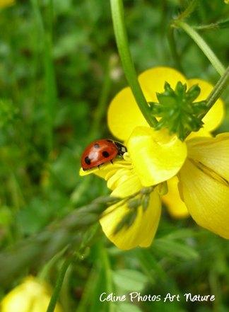 Fleurs de bouton d`or et coccinelle de Céline Photos Art Nature