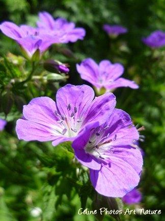 Fleurs de géraniums des bois de Céline Photos Art Nature
