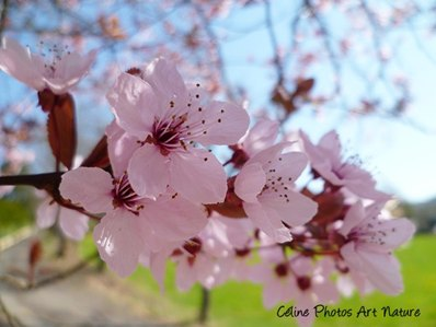 Fleurs de prunus de Céline Photos Art Nature