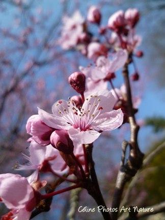 Fleurs de prunus printemps 2016