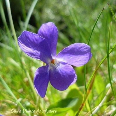 Fleurs de violettes printemps 2015 de Céline Photos Art Nature