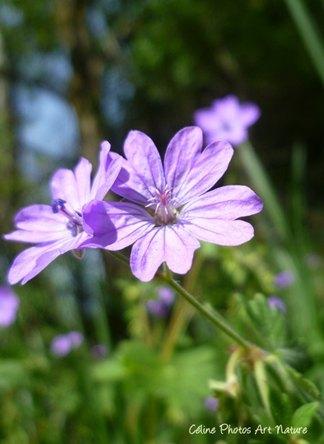 Fleurs mauves de Céline Photos Art Nature