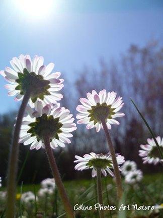 Fleurs de pâquerettes de Céline Photos Art Nature