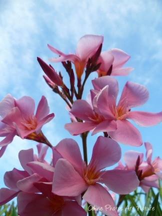 Fleurs de Laurier rose été 2013