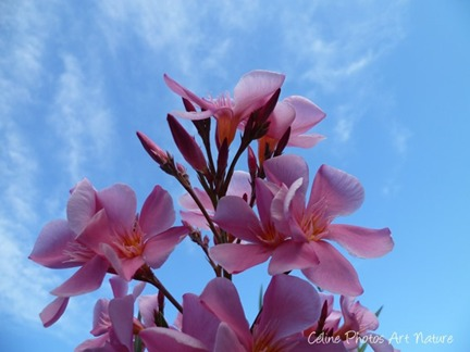 Fleurs de Laurier rose sur ciel bleu été 2013