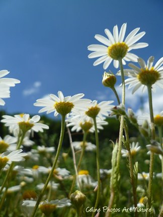 Marguerites printemps 2015 de Céline Photos Art Nature
