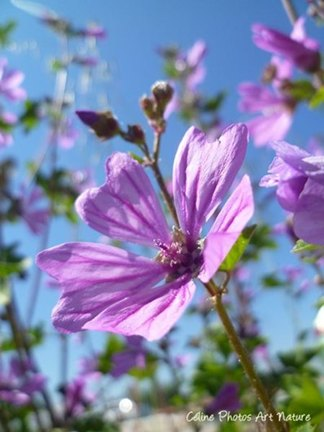 Mauve des prés printemps 2015 de Céline Photos Art Nature