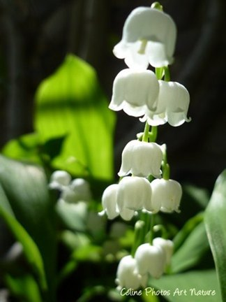 Muguet printemps 2015 de Céline Photos Art Nature