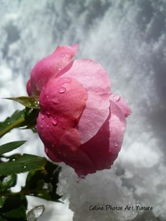 Une rose et la neige sur photo de Céline Photos Art Nature