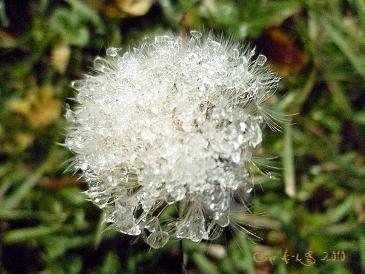 C`est la photo signée d`un pissenlit de Céline Photos Art Nature dont la fleur est cristallisé par le gel et le givre.
