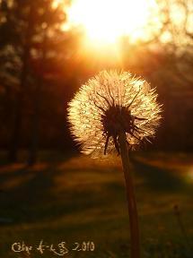 C`est la photo signée d`un pissenlit de Céline Photos Art Nature dont la fleur est illuminée par le soleil couchant.