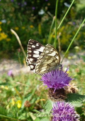 Papillon sur fleur de chardon