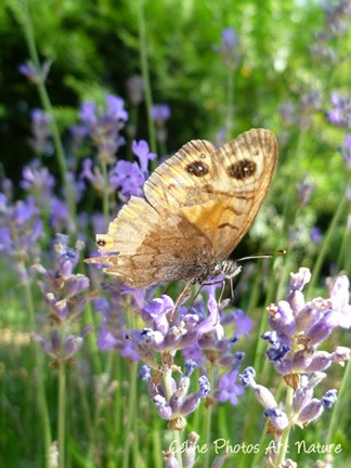 Papillon hibou été 2013