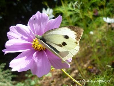 Papillon et fleur de cosmos