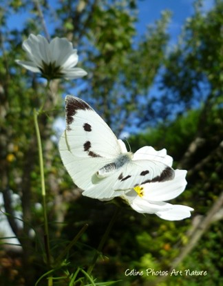 Photo de papillon noir et blanc