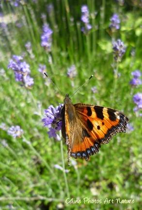 Papillon orangé été 2013