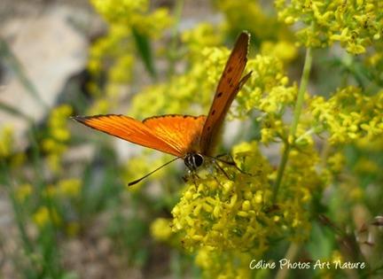 Papillon orange sur une fleur jaune