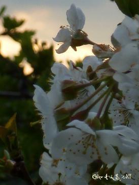Photo du site Céline Photos Art Nature de fleurs blanches de cerisier prises au soleil couchant.