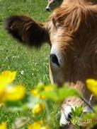 Vache Aubrac qui brote au milieu des fleurs