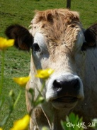 Vache nature  Photo sur Alu