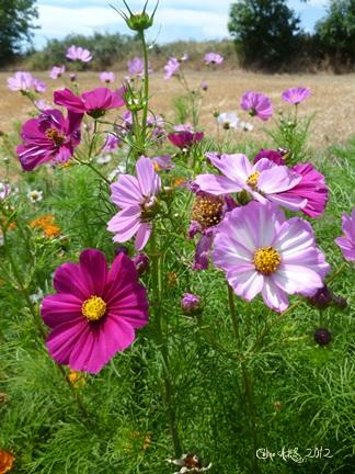 Photo de fleurs de Cosmos