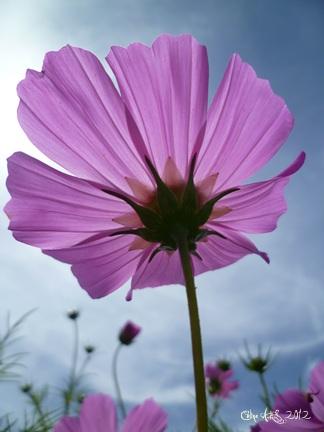 Photo d`une fleur de Cosmos