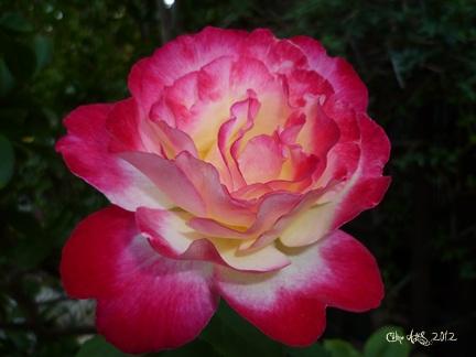 Photo d`une fleur de rose